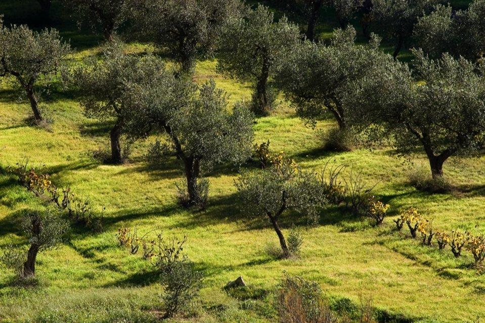 Оливковая роща картинки